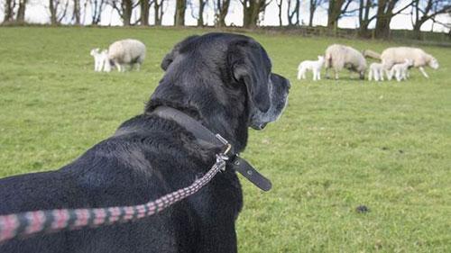 Dog owners - be careful during lambing season.