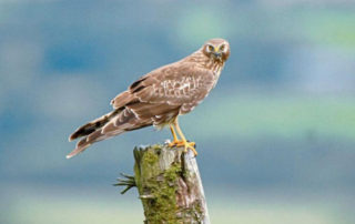 Hen Harrier research project at SHINE UCC