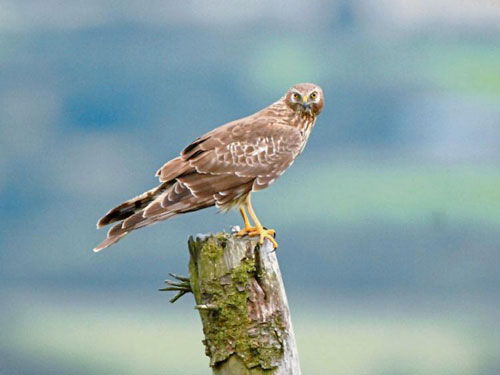 Hen Harrier fieldworkers wanted