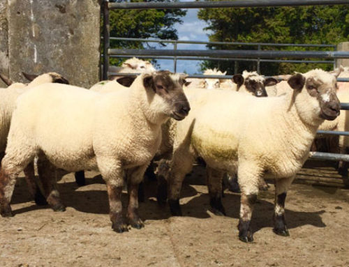 Sean Canney concerned at the dramatic drop in Spring Lamb prices at factories