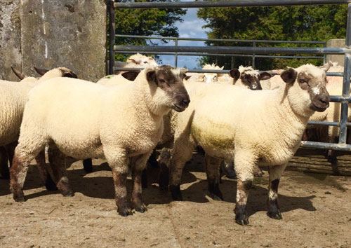 dramatic drop in the price of lamb at factories