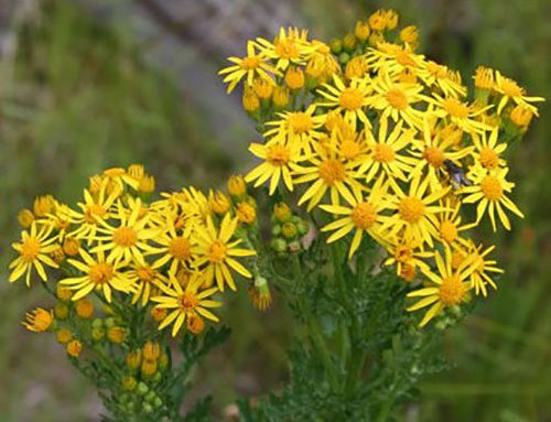 BE ALERT TO RAGWORT