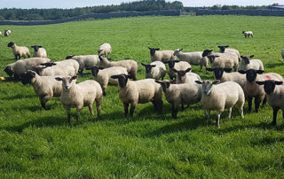 Call for support package for sheep farmers