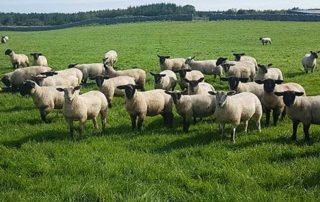 Supports calls to develop the Wool Industry in Ireland
