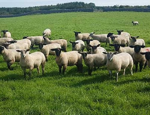 Canney welcomes advance payments for Sheep Welfare Scheme