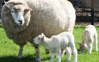 Galway Wool Co-op is an opportunity for Galway Sheep farmers